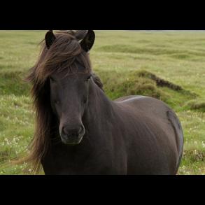 Pony & Nøjsomme Heste